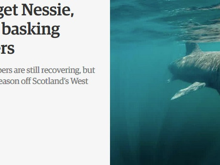 The Guardian: Forget Nessie, now is the time to spot basking sharks in Scottish waters