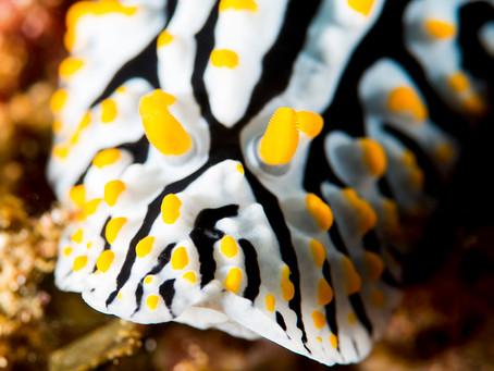 Wart Slugs: A hard group of nudibranchs to love