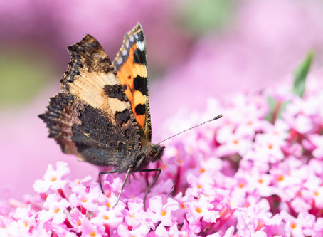 The Painted Lady invasion and other butterflies