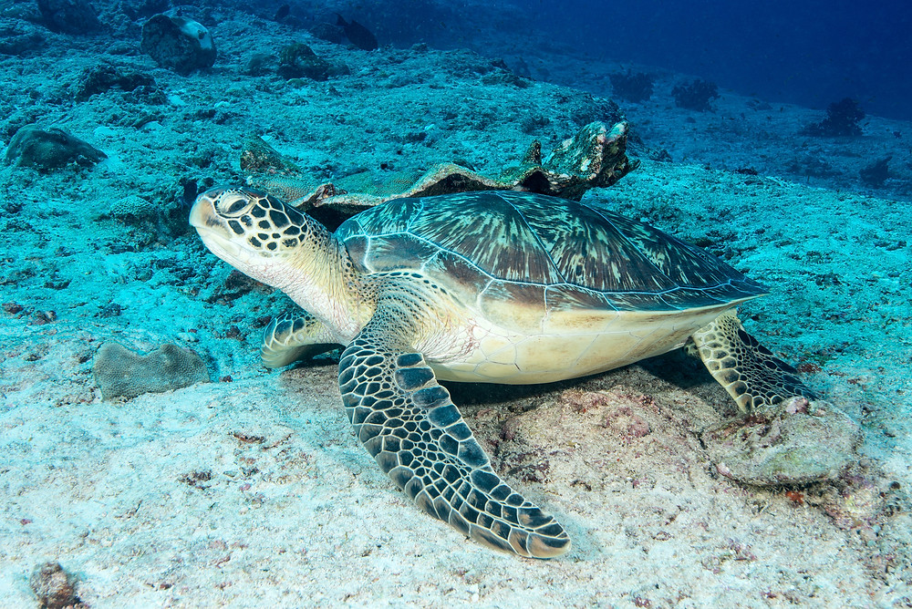 Green Turtle in the Maldives