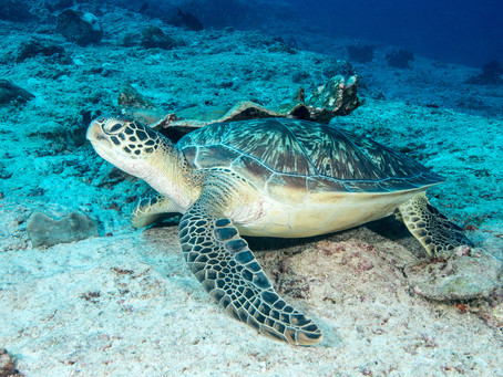 Green or Hawksbill? Telling your turtles apart