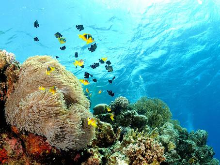 Amphiprion bicinctus: my favourite Clownfish subject