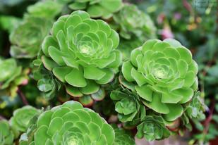 Saucer Plant (W).jpg