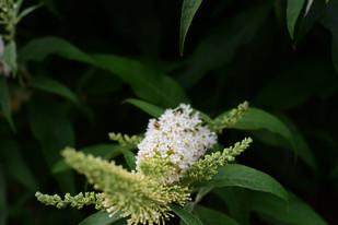 White flower framed in green 14.7.2020.JPG