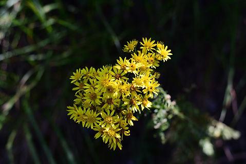 Yellow flowers 13.7.2020.JPG