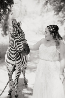 black and white, bride with headpiece petting zebra
