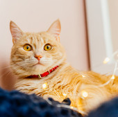 lumieres-chat-noel-chat-mignon-gingembre