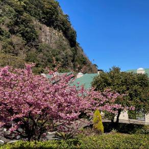 満開の河津桜と春メニューのスタートです