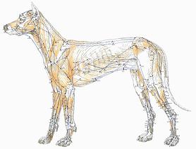 acupuncture veterinaire chien méridiens médecine traditionnelle chinoise shiatsu