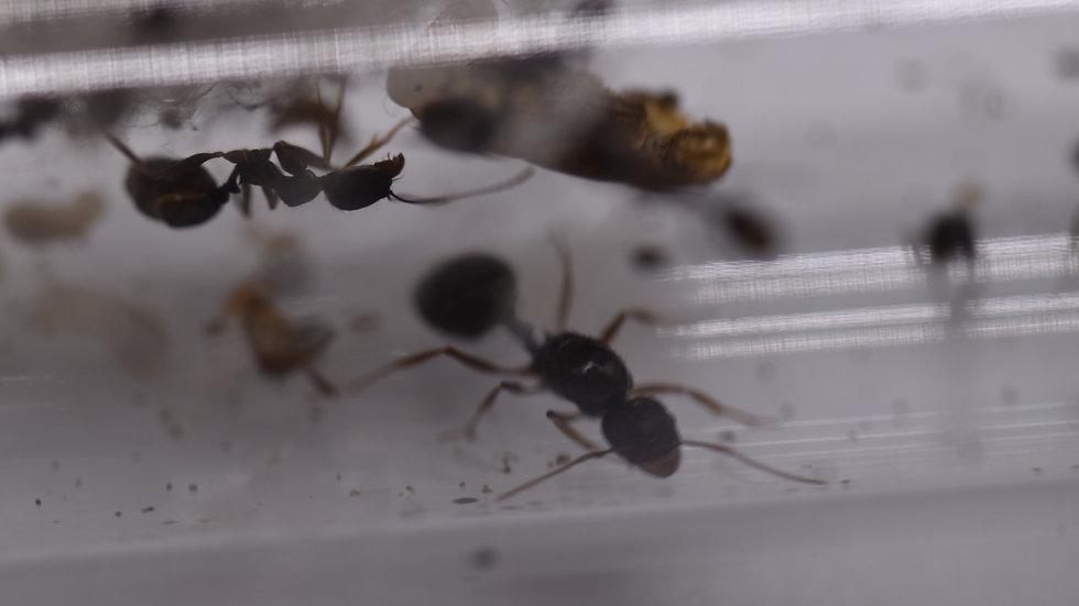 Aphaenogaster gibbosa Queen brood/workers (starter kit)
