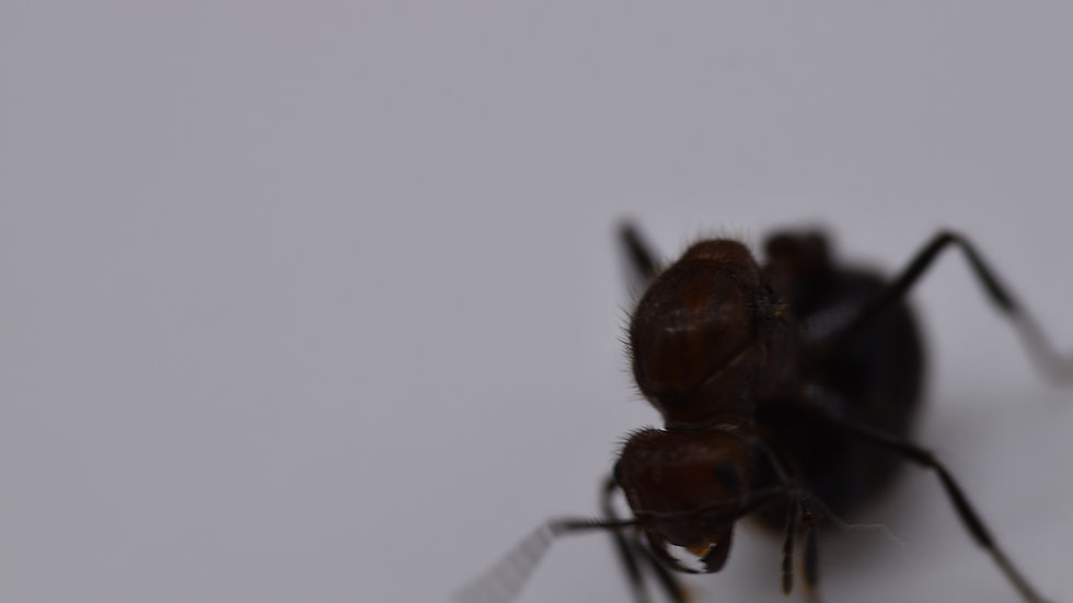 Myrmicaria brunnea queen with brood (Express shipping to EU only)