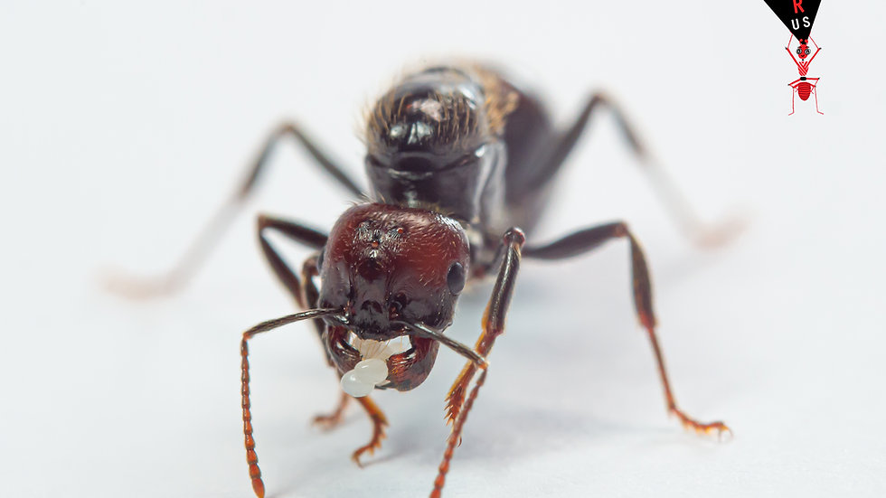 Messor Barbarus mated queen Red head with eggs/brood and workers (starter pack)