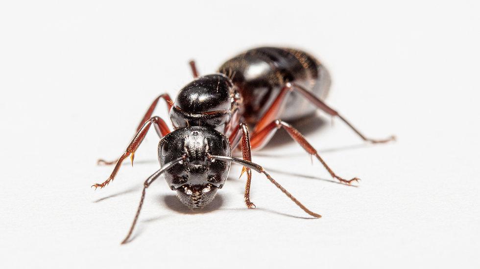 Camponotus herculeanus Queen with eggs/brood (starter kit)