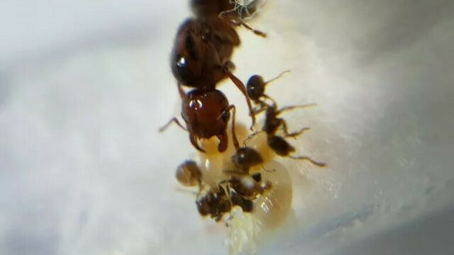 Solenopsis invicta Queen with brood and workers