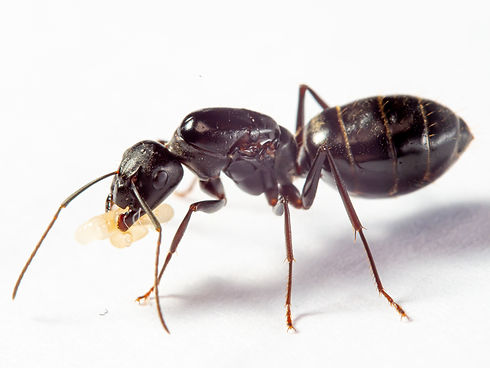 Camponotus rufoglaucus feae without logo