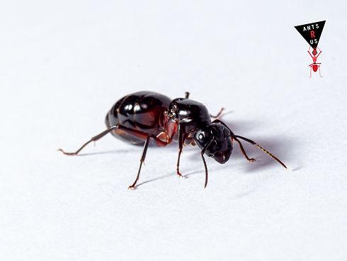 Camponotus ligniperdus Queen with logo 2