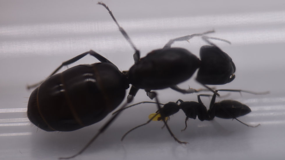 Camponotus Japonicus Queen with workers (starter kit)