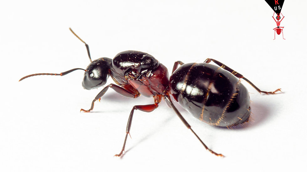 Camponotus ligniperda Queen with brood or workers (starter kit)