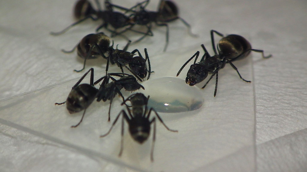 Polyrhachis dives Queen with workers (starter kit)