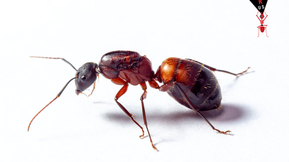 Camponotus cruentatus with brood/workers (starter kit)