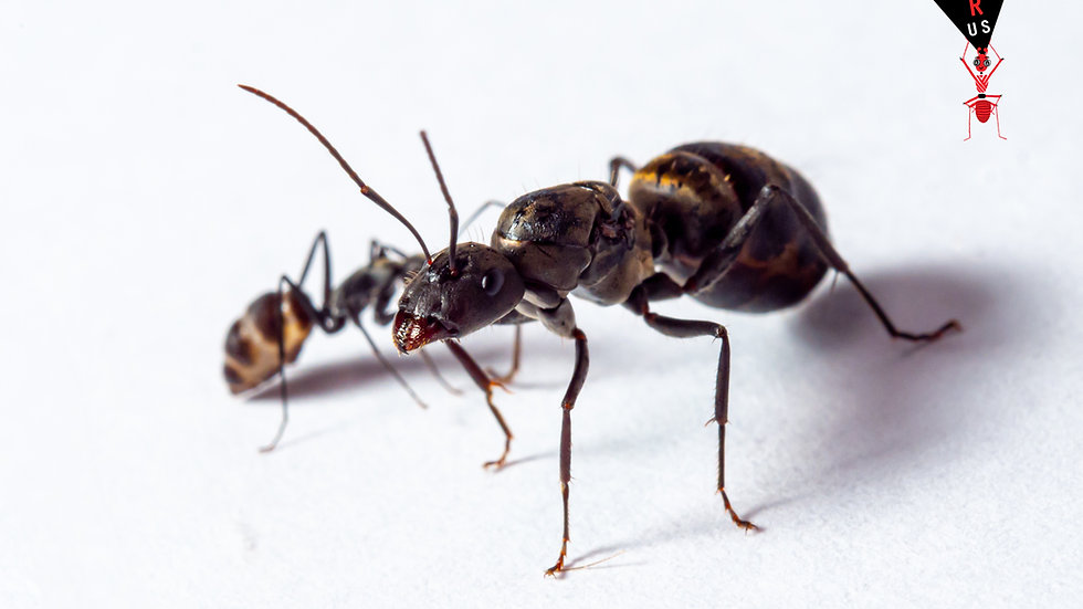 Camponotus Parius Queen with eggs/brood and workers