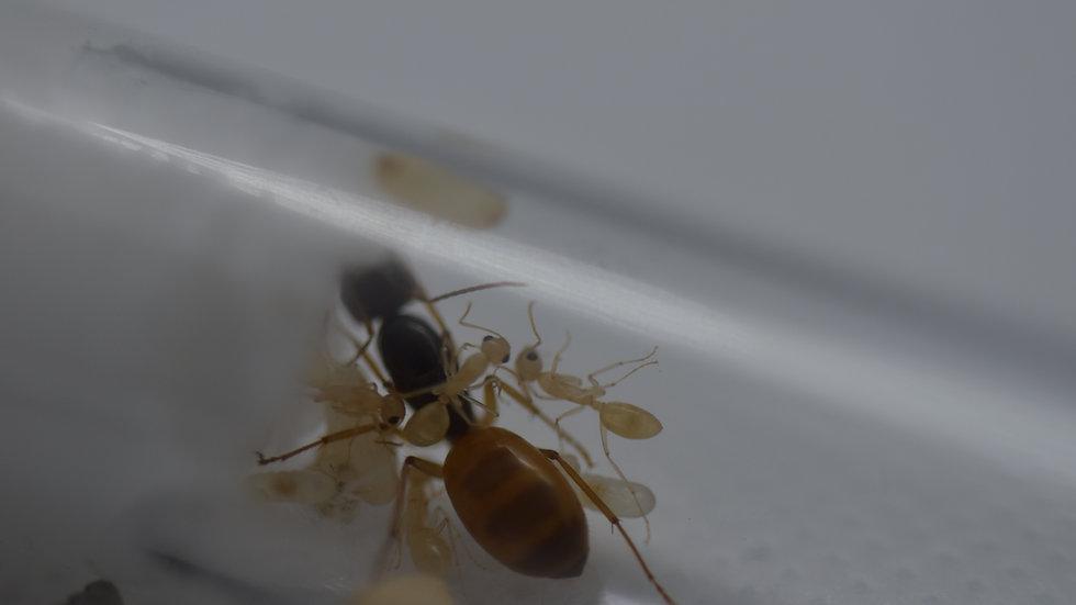 Camponotus turkestanus Queen (black/gold) with brood or workers