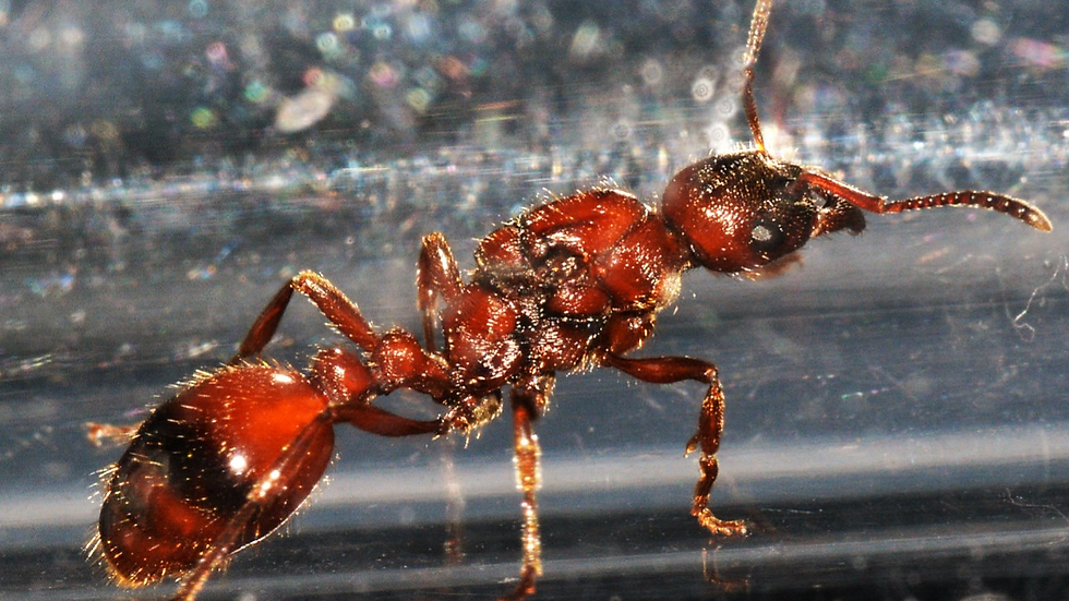 Manica rubida Queen with brood or workers (starter kit)