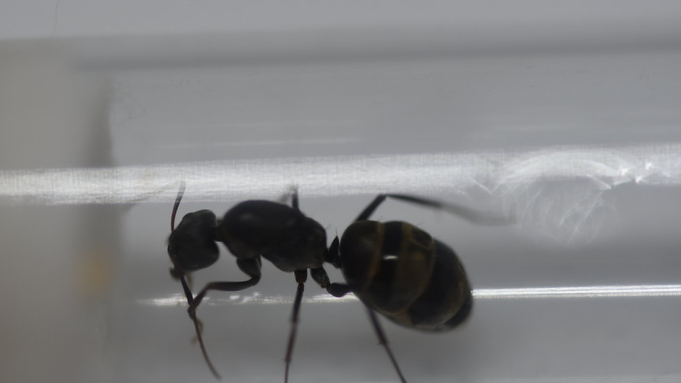 Camponotus Flavomarginatus Queen with brood or workers