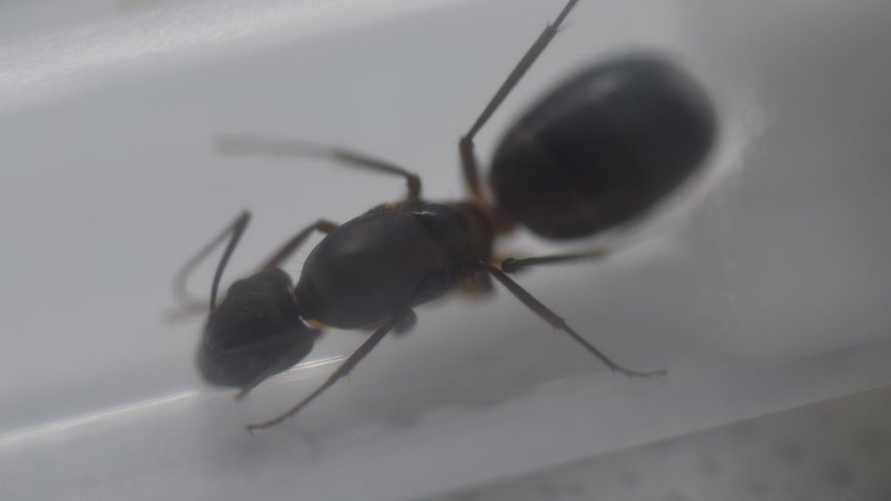 Camponotus barbaricus Queen with brood (starter pack)