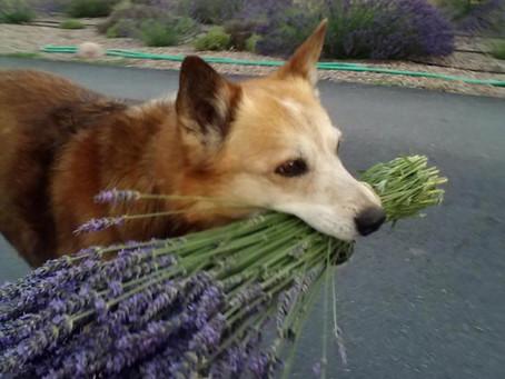 Jed, the Farm Dog