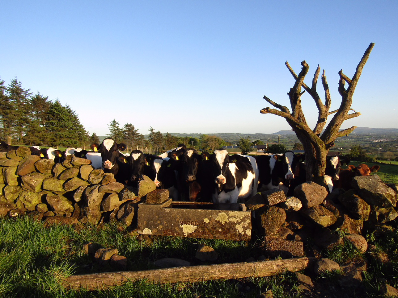 31 Cows