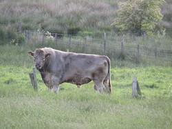 14 Bull