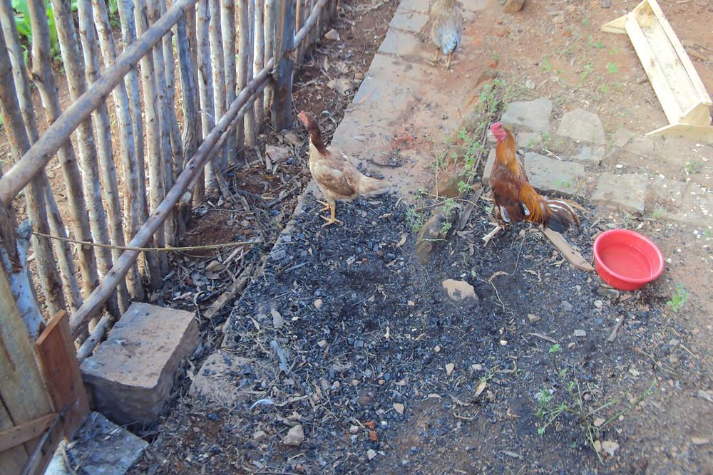 L'élevage de poulets est mis en place.