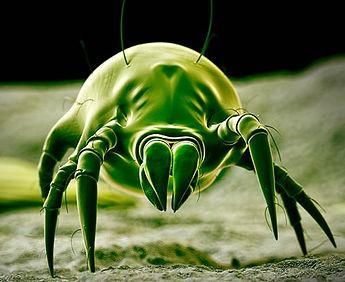 dust-mite-closeup.jpg