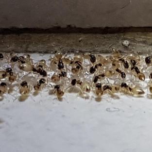 Singapore Ants Control.jpg