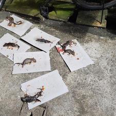 Rat / Mouse Control