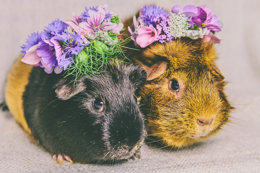 Guinea pigs in flower crowns