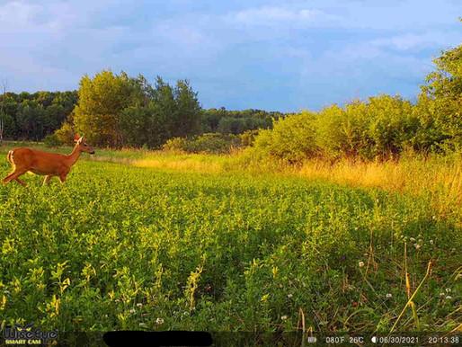 Summertime Trail Cam Strategies