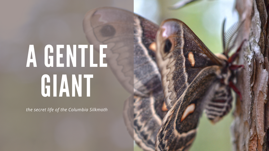 A Gentle Giant - the secret life of the Columbia silkmoth