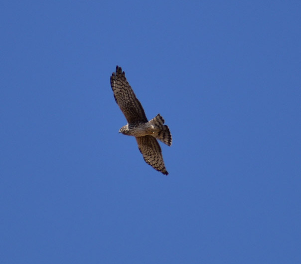An Introduction to Northern Harriers