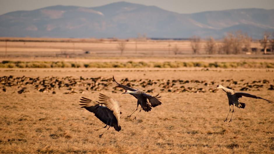 Sandhill Cranes in Colorado
