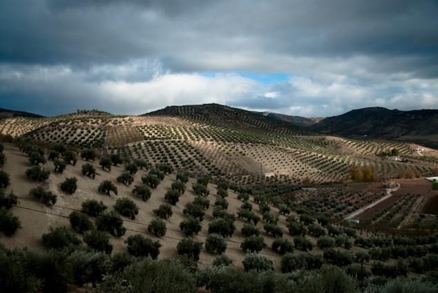 Campo de oliveiras para produção de azeita na região de Jaen, Andaluzia. Foi feita em 2009, ocasião que realizei uma série de reportagens sobre esse produto tão nobre, que tem a Espanha como maior produtor mundial.