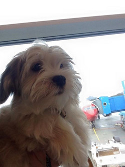 """Facebook - Introducing our new member of the Wizzizz Havanese """"Bob"""".jpg"""