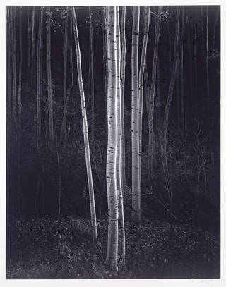Ansel Adams, Aspens, Northern New Mexico, 1958.  Museum no. PH.1376-1980.  © Ansel Adams