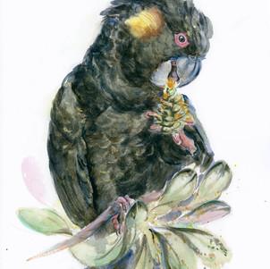 Black-Cockatoo