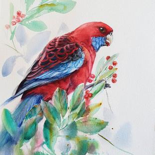 Crimson-Rosella