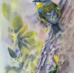 Eastern-Yellow-Robin II