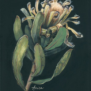Afterlife of a Mink Protea