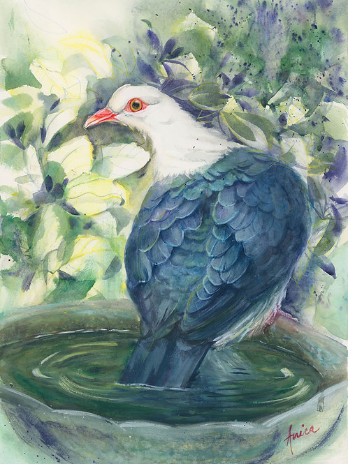 Time to cool off for White-headed piegon