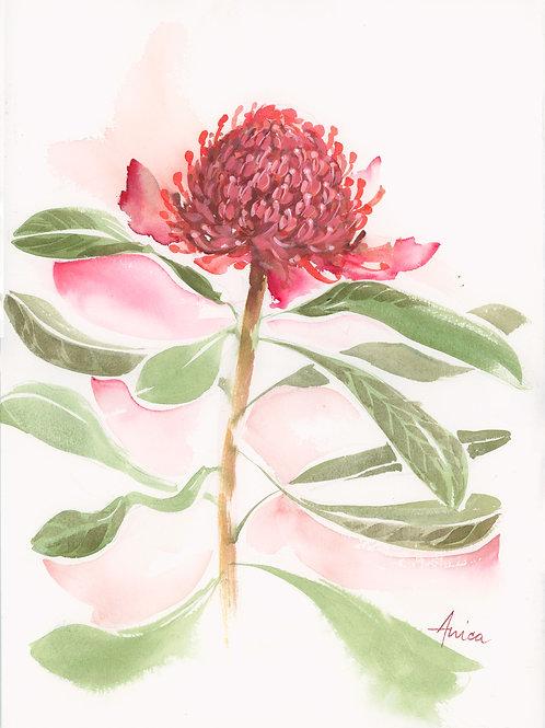 Waratah Bloom 2